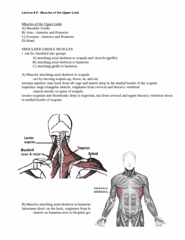lecture-8-muscles-of-the-upper-limb-doc