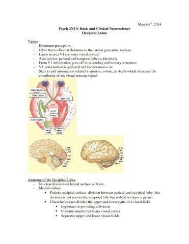 ocipital-lobes-docx