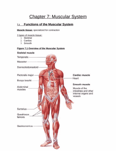 chap-7-muscular-system-docx
