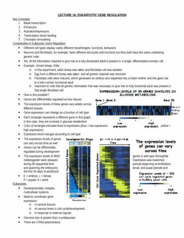 lecture-17-eukaryotic-gene-regulation