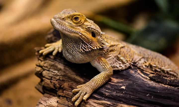 Bearded dragons can change their gender but why & how? - Science 101