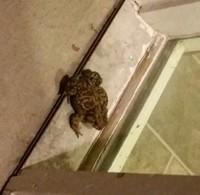 Fat toad 293x300