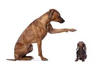 Bigstock dachshund and rhodesian ridge 95982419