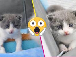 Gato clonado en China