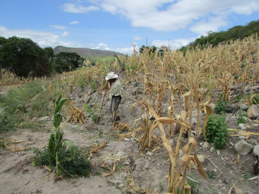 En el Día Mundial de la Agricultura, Honduras registra pérdidas millonarias por sequía