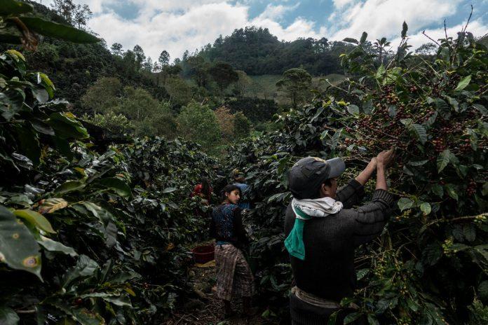 A $105 sube precio del quintal de café