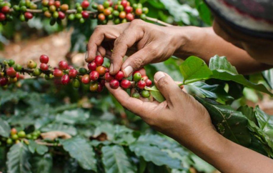 En un 10% bajan las exportaciones de café en la temporada 2019-2020