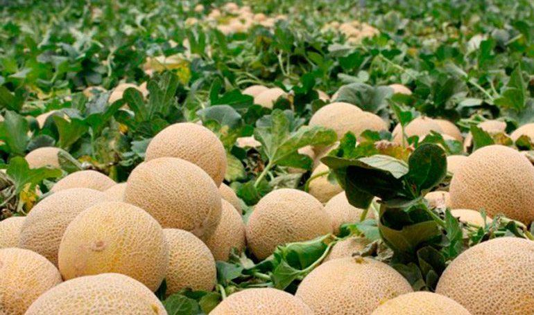 Exportación de melones.