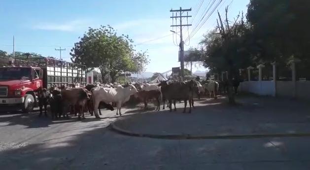 ¡Inusual protesta! Productores sacan a la calle a su ganado en Choluteca para exigir justicia contra invasores