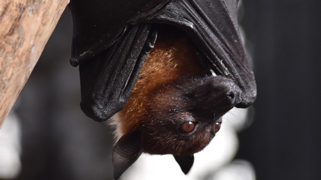 Según un nuevo estudio el covid-19 y los murciélagos evolucionaron juntos durante millones de años