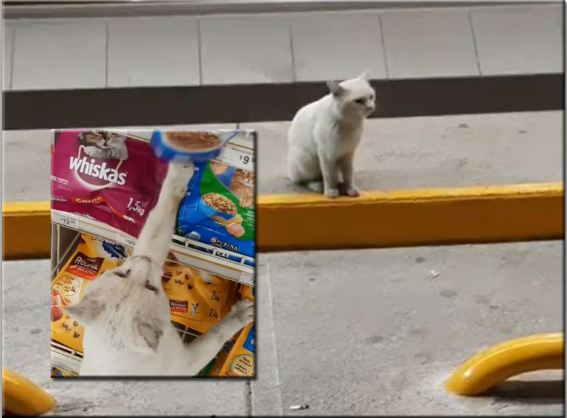 Video: gato callejero guía a una mujer al supermercado y le señala con una pata su comida favorita