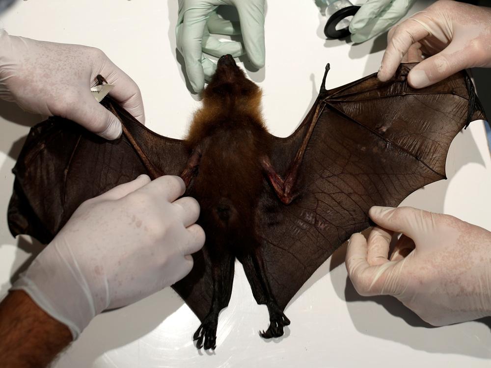 Murciélago nuevo virus