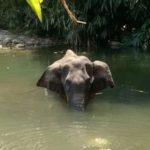 Elefanta embarazada. Foto La Opinión