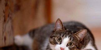 Medicamento para gato