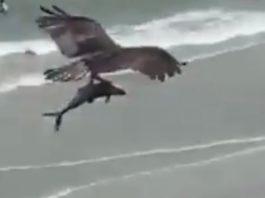 águila se lleva a tiburón.