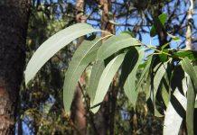 Hojas eucalipto.