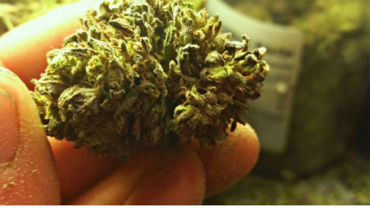 Científicos descubren componente psicoactivo de la marihuana para tratar pacientes graves de covid-19