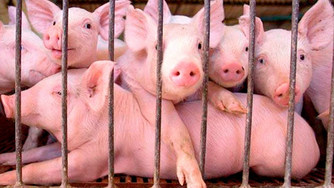 Honduras incrementa la importación de carne de cerdo de 38 mil a 45 mil toneladas