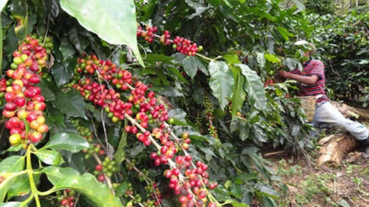 Exportaciones hondureñas de café bajan un 6% en 6 meses de cosecha 2020-2021
