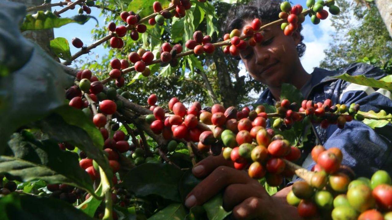 Ingresos por exportaciones de café hondureño suben 1.4% en 7 meses de cosecha
