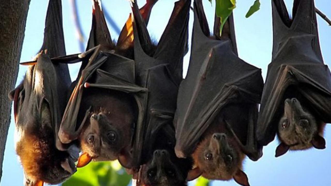 Investigadores chinos hallan nuevos coronavirus en murciélagos