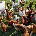 pollos
