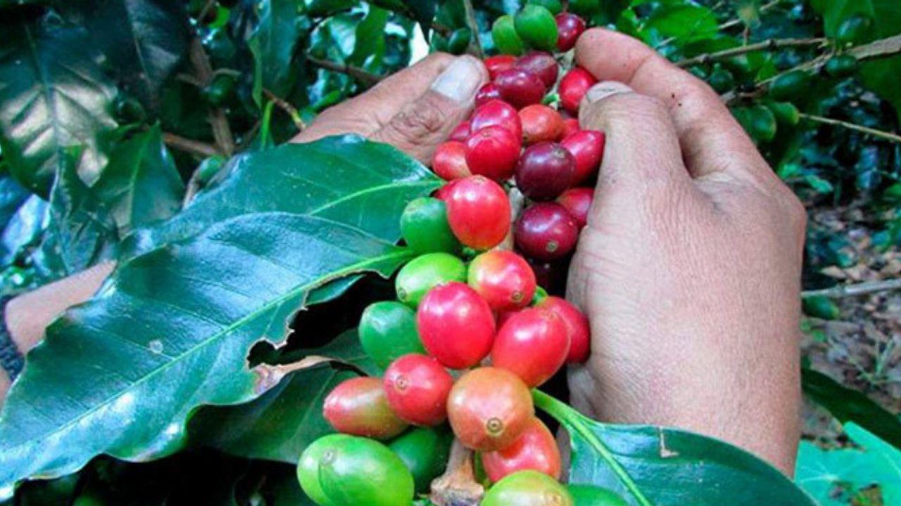 Ingresos por exportaciones de café hondureño suben 20.2 % por alza del precio