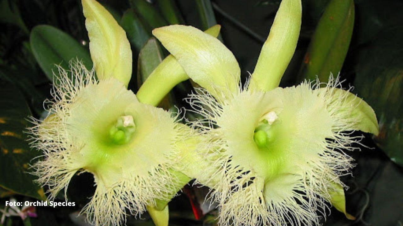 Conoce todos los detalles de la 'orquídea de la Virgen', la Flor Nacional de Honduras