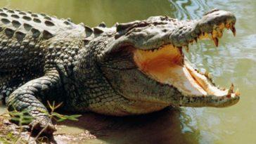 El cocodrilo fue cazado para sacar el cuerpo de la niña