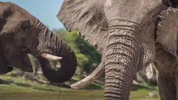 """La elefanta """"mostraba signos de agresión e irritación"""", según Farawo."""