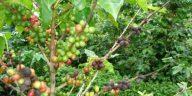 Árbol de café dañado por plaga en Honduras.
