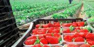 Canastas de fresas en España