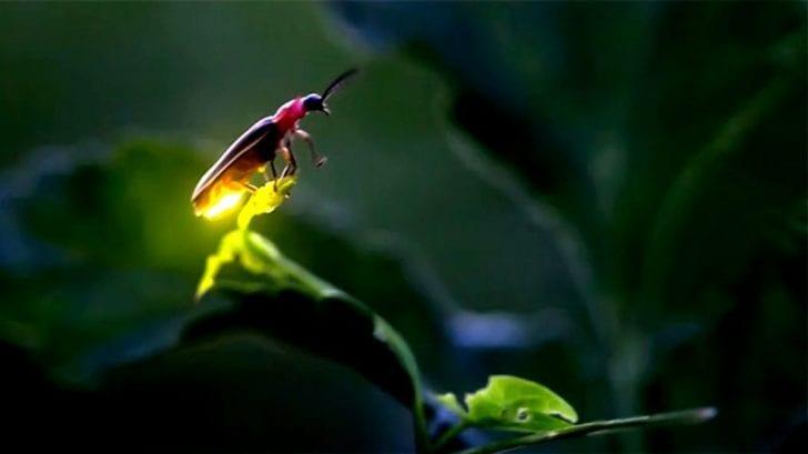 Las luciérnagas podrían entrar en la lista de las especies en peligro de extinción