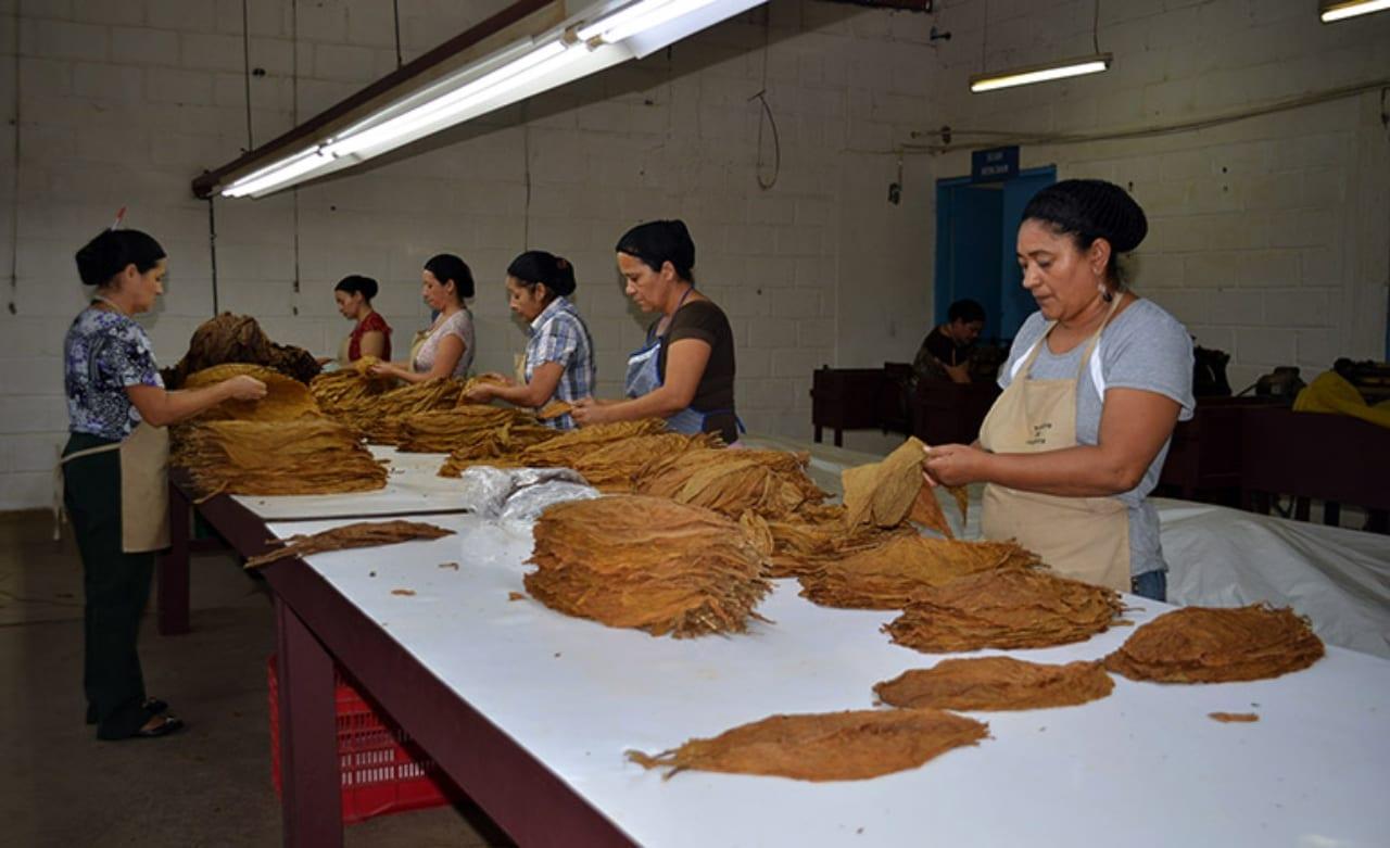 Después de 40 días de inactividad fábricas de tabaco en la zona Oriental de Honduras, reactivaran sus actividades laborales bajo estrictas medidas de bioseguridad ante la pandemia del covid-19.