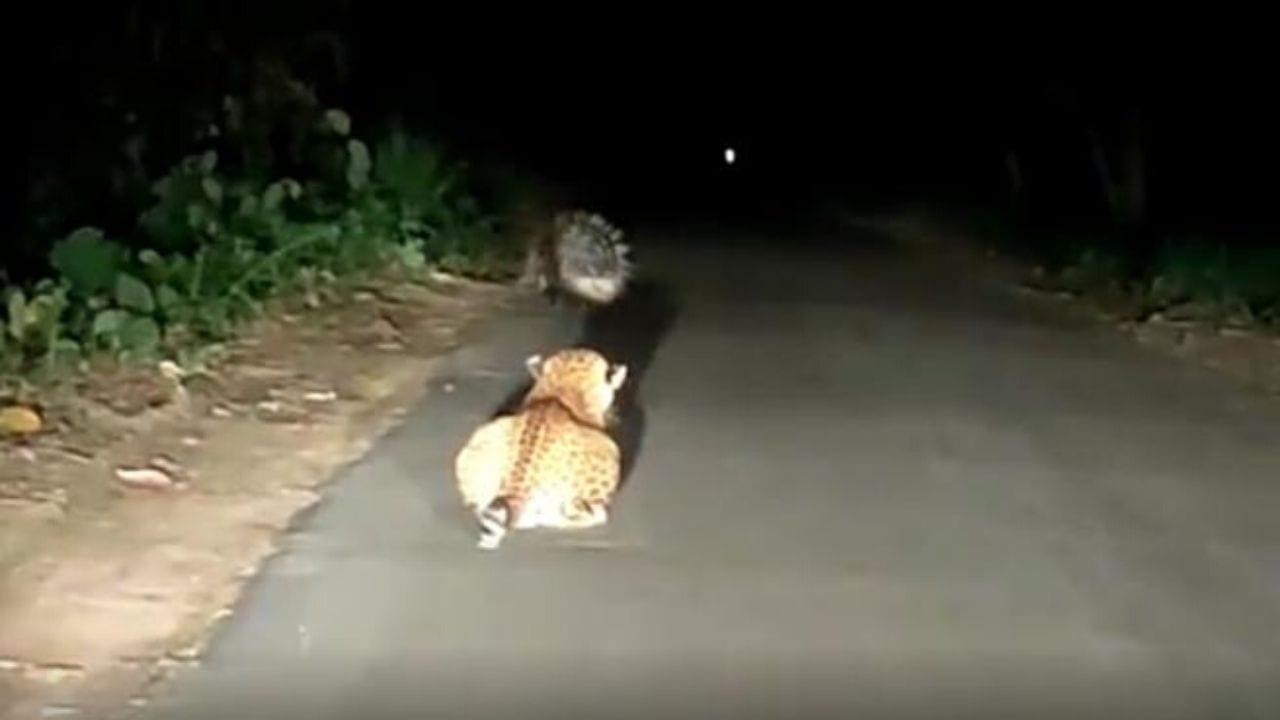 El felino desistió de intentar cazarlo al recibir una inesperada defensa.