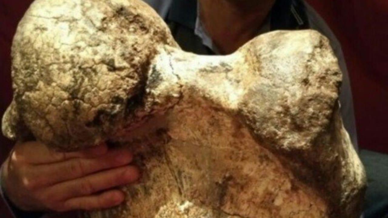 """El megamamífero que solo estaba adaptado a la llanura pampeana """"comparte características con el género Pyramiodontherium que habitó durante el Plioceno, hace unos tres millones de años""""."""