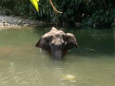 Elefanta embarazada muere después de ser alimentada con piña rellena de explosivos