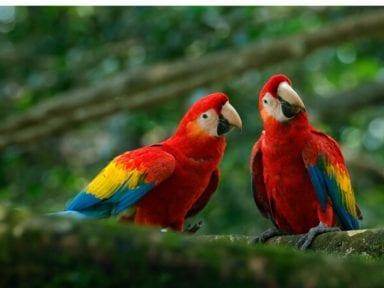 Liberan a cinco guacamayos rojos para reintroducirlos en Argentina