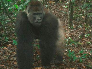 Captan en imágenes a cachorros de una especie de gorila en peligro de extinción