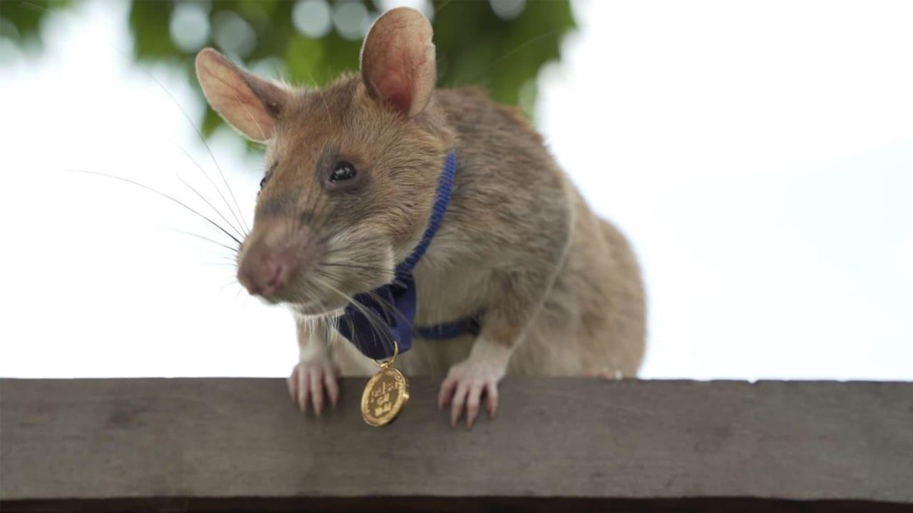 Un video muestra la condecoración del roedor que en los últimos 7 años ha encontrado 39 minas y 28 artefactos explosivos.