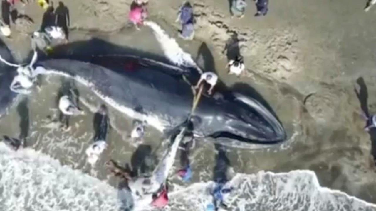 Las ballenas jorobadas, son de las más grandes de su especie, ya que pesan aproximadamente, 36 000kg.