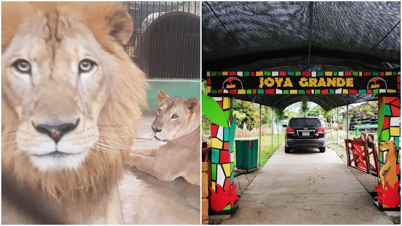 El zoológico dejó de recibir turistas desde el 16 de marzo de 2020 debido a la pandemia del covid, lo que provocó severos problemas económicos. También se han recibido aportes de la OABI y de empresarios.
