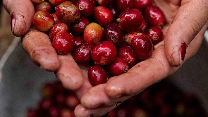 Los ingresos por exportaciones de café hondureño suben un 1.4 % en 7 meses de cosecha
