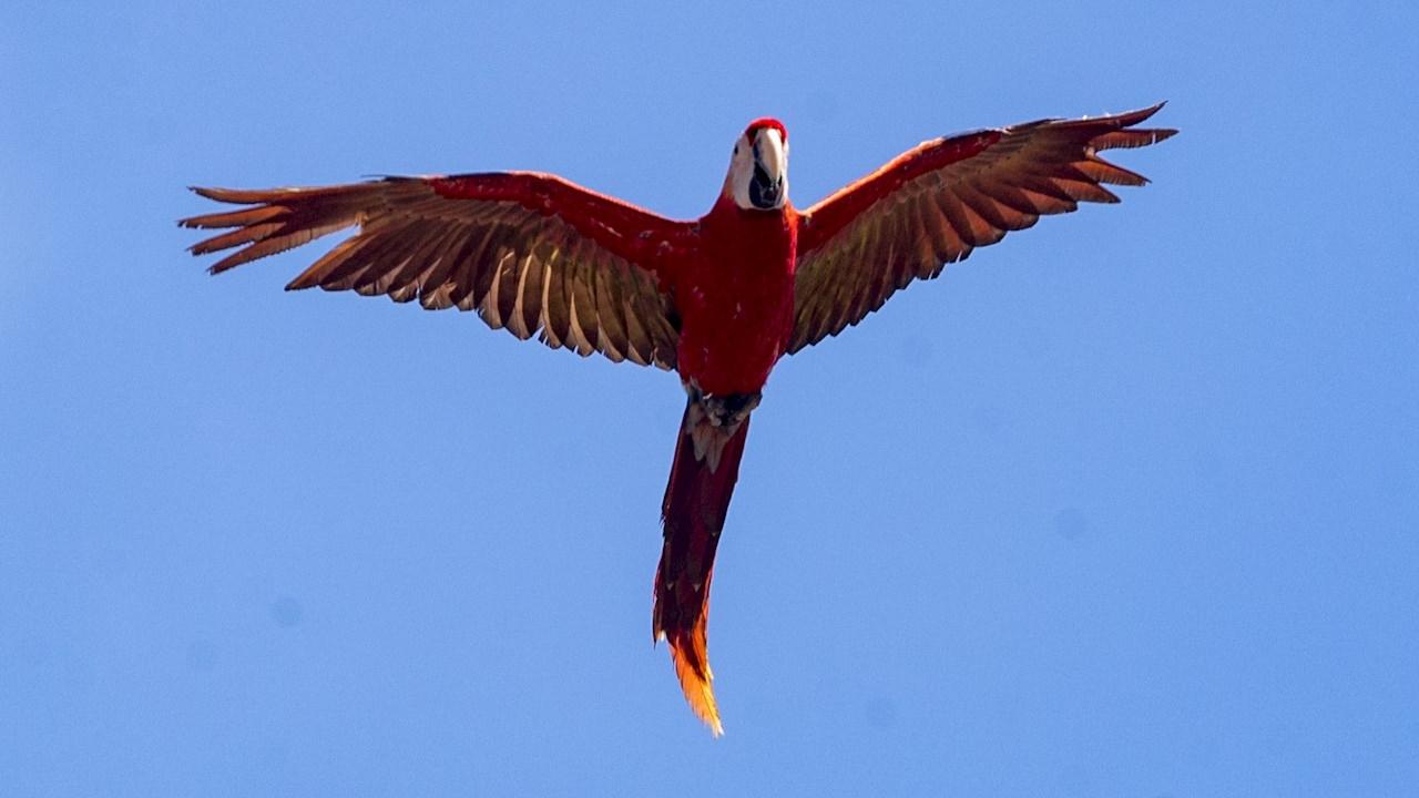 Belice busca implementar nuevas penas para frenar la caza ilegal de estas aves