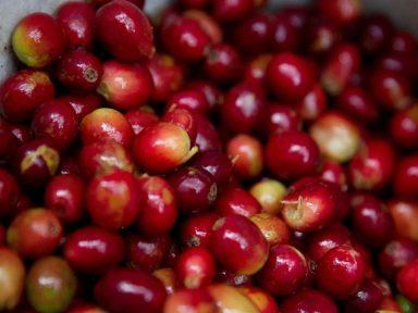 Los ingresos por las exportaciones de café hondureño suben un 20,2 % por el alza del precio