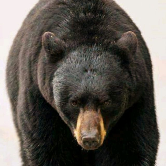Black Bear Full-Body