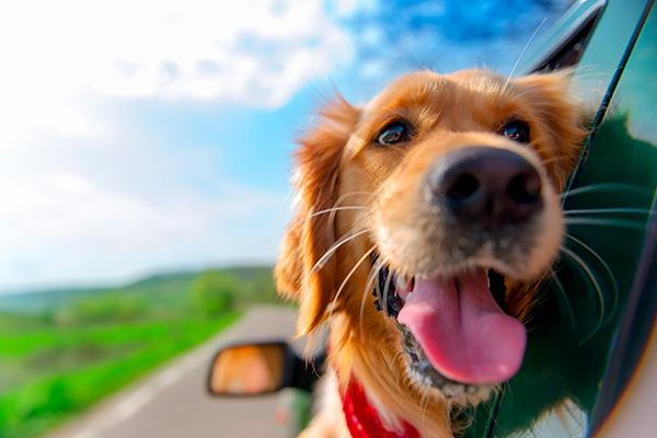 driverslicenseadvisors.org blog: DriversLicenseAdvisors.org Explains the Best Ways to Transport Your Pet in a Vehicle