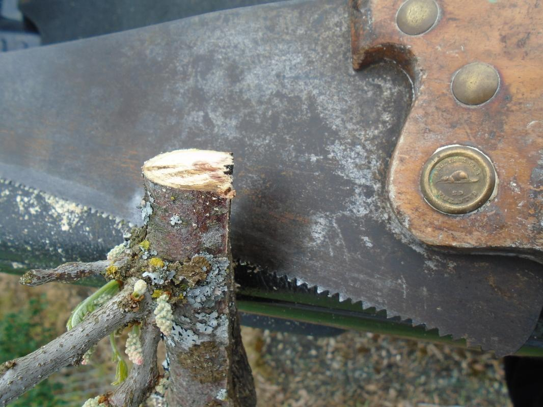 Late 1880s  22 Inch HAND SAW features BEAVER Medallion _Beauty for Display in home or business_ Even Cuts tree branch.