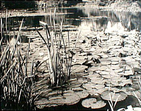 Landscape: 'Lilly Pond' by C.W. Farrow