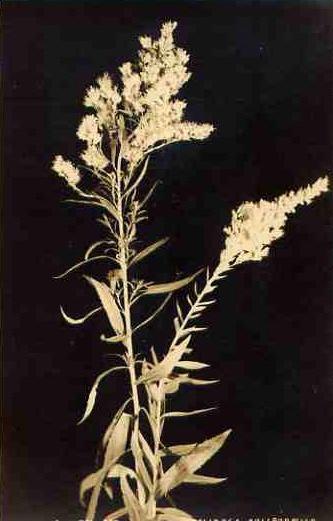 vintage botanical: Golden Rod